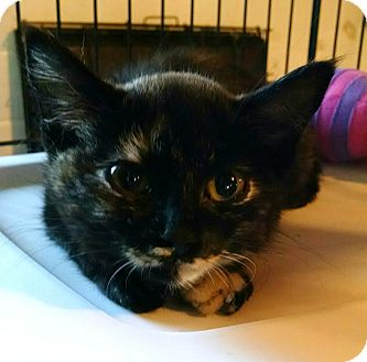 Domestic Shorthair Kitten for adoption in Geneseo, Illinois - Hildy