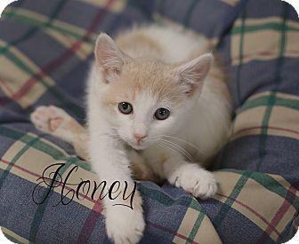 Domestic Shorthair Kitten for adoption in Chester, Maryland - Honey
