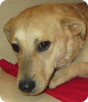 Hound (Unknown Type)/Pembroke Welsh Corgi Mix Dog for adoption in Lincolnton, North Carolina - Jack