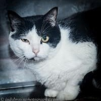 Domestic Shorthair Cat for adoption in Wellesley, Massachusetts - Rambo