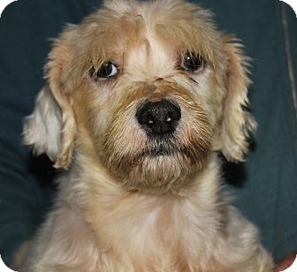 Bichon Frise Dog for adoption in Colonial Heights, Virginia - Grumbles