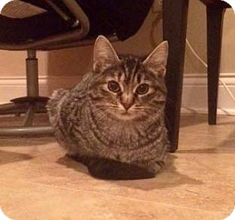 Domestic Shorthair Kitten for adoption in Lombard, Illinois - Beatrice