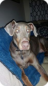 Doberman Pinscher Dog for adoption in New Richmond, Ohio - Shelby