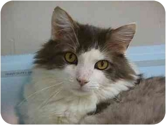 Maine Coon Cat for adoption in Jeffersonville, Indiana - Preston