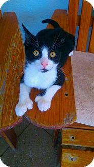 Hemingway/Polydactyl Kitten for adoption in Seminole, Florida - Hemi