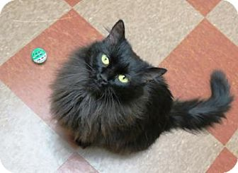 Domestic Longhair Cat for adoption in Hendersonville, North Carolina - Mabel