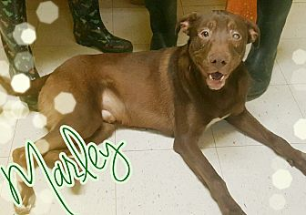 Labrador Retriever Mix Dog for adoption in Odessa, Texas - Marley