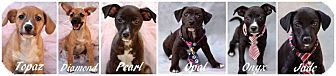 Chihuahua/Dachshund Mix Puppy for adoption in Effort, Pennsylvania - The Gemstone Puppies