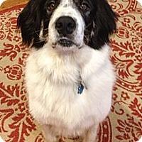 Adopt A Pet :: Lincoln  *Adopted - Tulsa, OK