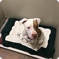 Adopt A Pet :: Peace - Philadelphia, PA