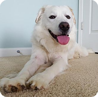 Great Pyrenees Mix Dog for adoption in Alpharetta, Georgia - Portland