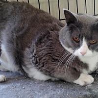 Adopt A Pet :: Grey Girl - Rochester, MN