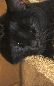 Domestic Shorthair/Domestic Shorthair Mix Cat for adoption in Potsdam, New York - Midnite