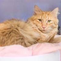 Domestic Shorthair/Domestic Shorthair Mix Cat for adoption in Palm Coast, Florida - Goldie