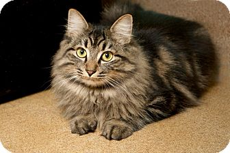 Maine Coon Cat for adoption in Coronado, California - Reagan