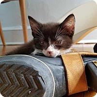 Adopt A Pet :: Luna - Manhattan, NY