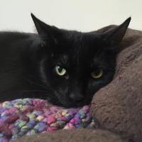 Adopt A Pet :: Mittens - Peace Dale, RI