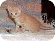Domestic Shorthair Kitten for adoption in Aldie, Virginia - Rogue