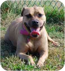 American Pit Bull Terrier/Boxer Mix Dog for adoption in Vineland, New Jersey - Princess