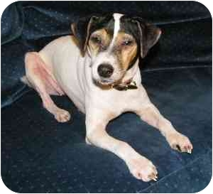 Jack Russell Terrier Mix Dog for adoption in Thomasville, North Carolina - Miley