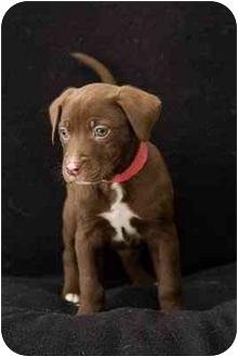 Labrador Retriever Mix Puppy for adoption in Portland, Oregon - Flower