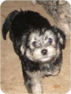 Yorkie, Yorkshire Terrier/Schnauzer (Miniature) Mix Puppy for adoption in Arlington, Texas - Thunder