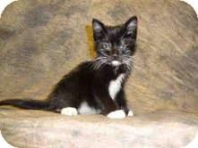 Domestic Shorthair Kitten for adoption in Arlington, Virginia - Joey