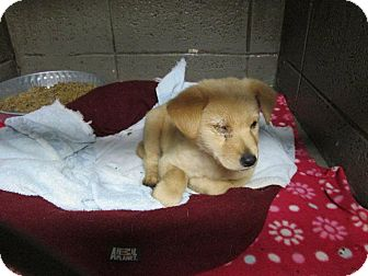 Labrador Retriever Mix Puppy for adoption in Henderson, North Carolina - Cunningham