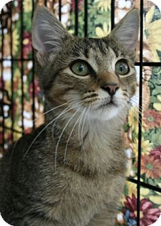 Domestic Shorthair Kitten for adoption in Frederick, Maryland - Janice