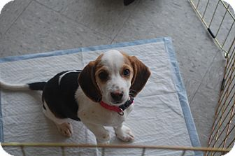 Beagle Mix Puppy for adoption in Hainesville, Illinois - Lady