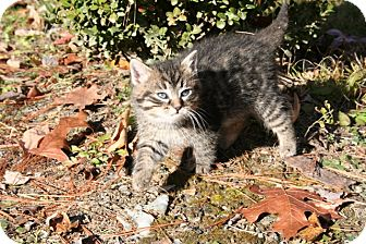 American Shorthair Kitten for adoption in Foster, Rhode Island - Boo Boo