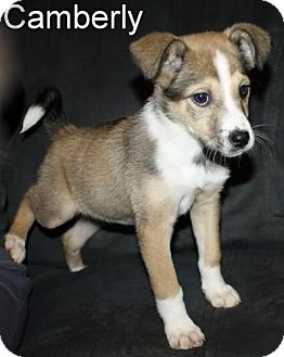 Beagle/Fox Terrier (Smooth) Mix Puppy for adoption in New Jersey, New Jersey - Bordentown NJ - Camberly