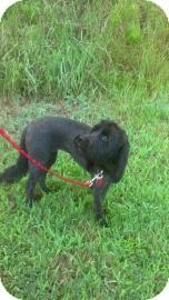Cocker Spaniel Mix Dog for adoption in Columbus, Georgia - Pepper 0839
