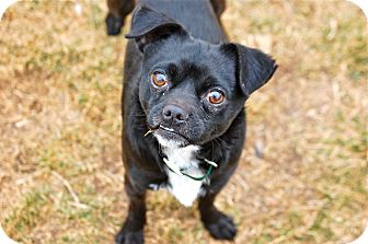 Chihuahua/Pug Mix Dog for adoption in Meridian, Idaho - Whistler