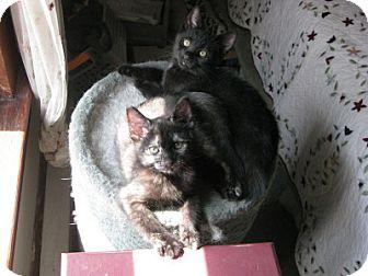 Domestic Shorthair Kitten for adoption in Bloomsburg, Pennsylvania - Roxy & Raven