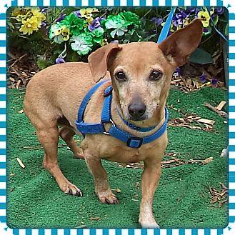 Dachshund Dog for adoption in Marietta, Georgia - JACK (R)