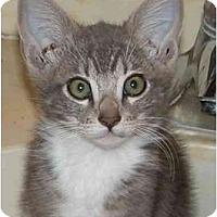 Adopt A Pet :: Socks - Davis, CA