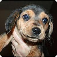 Adopt A Pet :: Jade - Westfield, IN