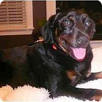 Adopt A Pet :: Josie - Raleigh, NC