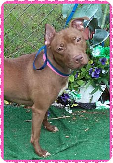 Pit Bull Terrier Mix Dog for adoption in Marietta, Georgia - SUGAR
