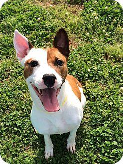 Pit Bull Terrier/Terrier (Unknown Type, Medium) Mix Dog for adoption in Alpharetta, Georgia - Jesse