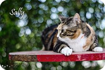 Domestic Shorthair Cat for adoption in Belle Chasse, Louisiana - Sally