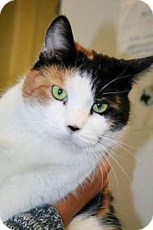 Domestic Shorthair Cat for adoption in Jackson, New Jersey - Sarah