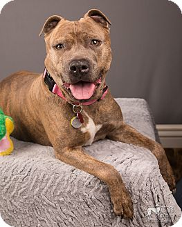 American Staffordshire Terrier/Mastiff Mix Dog for adoption in Eugene, Oregon - Rosie