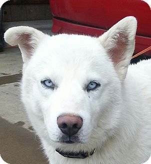 Siberian Husky Puppy for adoption in albany, New York - Cody