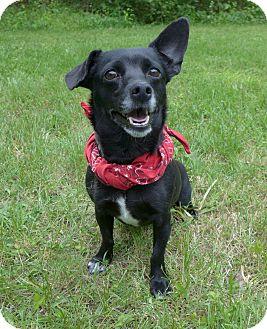 Rat Terrier/Dachshund Mix Dog for adoption in Mocksville, North Carolina - Bobette