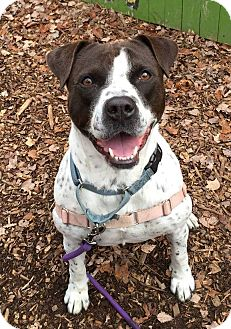 American Staffordshire Terrier Mix Dog for adoption in Briarcliff Manor, New York - Cookie