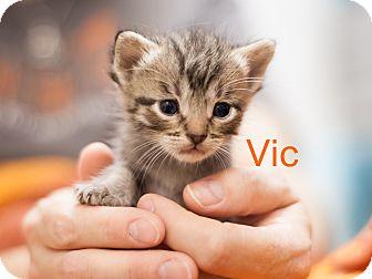 Domestic Shorthair Kitten for adoption in Dallas, Texas - Vic