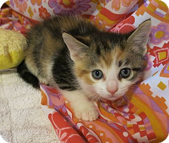 Domestic Shorthair Kitten for adoption in Geneseo, Illinois - Paisley