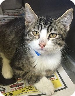 Domestic Shorthair Kitten for adoption in Kirby, Texas - Wade